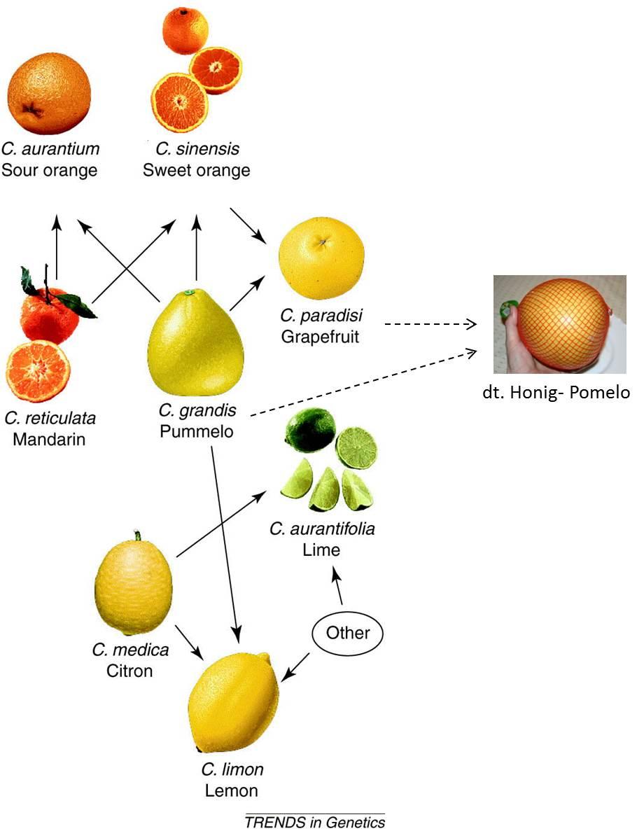 Pampelmusen Sind Keine Grapefruits Kuriosum Naturale