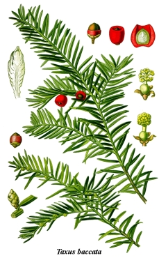 cleaned-illustration_taxus_baccata